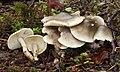 Seifen-Ritterling Tricholoma saponaceum.JPG