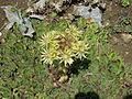 Sempervivum grandiflorum001.jpg
