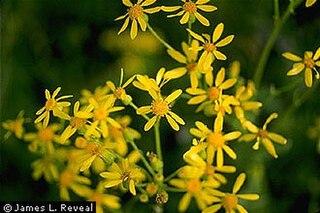 <i>Senecio ampullaceus</i> Species of plant
