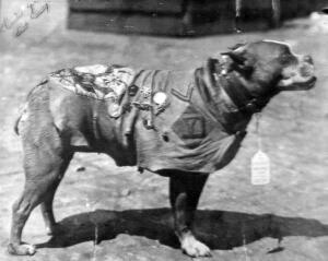 Sergeant Stubby - Sergeant Stubby wearing his coat and medals