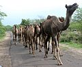 Several camels walking along a road.jpg