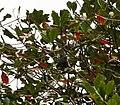 Seychelles Fruit Bat - Pteropus seychellensis 4.jpg