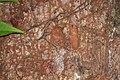 Shattuck 54192, Rhopalomastix, Danum Valley, Sabah-web (5042360297) (2).jpg