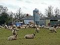 Sheep at North Farm - geograph.org.uk - 742668.jpg