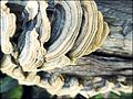 Shelf fungus 2.jpg