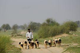 Shepherd DSC0929.jpg