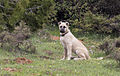 Shepherd dog in Saimbeyli.jpg