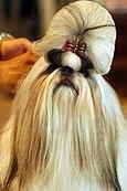 Shih Tzu portrait show dog.jpg
