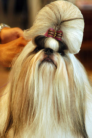 A Shih Tzu fully groomed for a dog show.