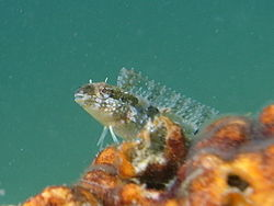 Short headed sabretooth blenny - Petroscirtes breviceps.jpg