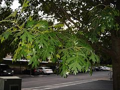 Shumard oak leaves.JPG