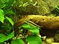Siamese Algae Eater.jpg