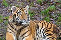Siberian Tiger Cub (33037893532).jpg