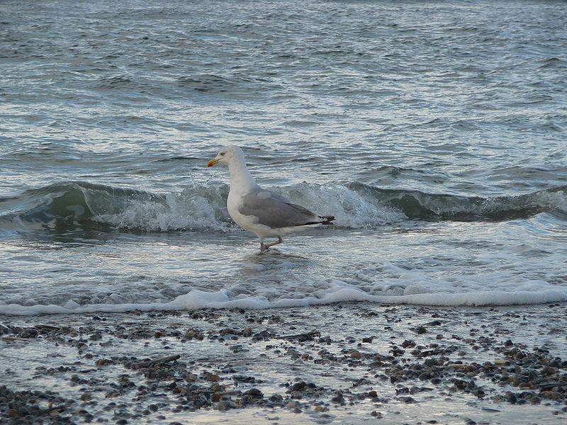 File:Silbermöwe Nordsee.JPG