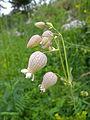 Silene vulgaris flower.jpg
