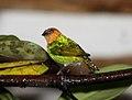 Silver-backed Tanager (Tangara viridicollis) (cropped).jpg