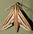 Silver-striped Hawkmoth (Hippotion celerio) (13966837662).jpg