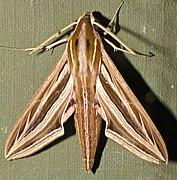 Silver-striped Hawkmoth (Hippotion celerio) (13966837662).jpg