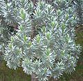 Silvertree leucadendron foliage - Cecilia forest - Cape Town 1.jpg