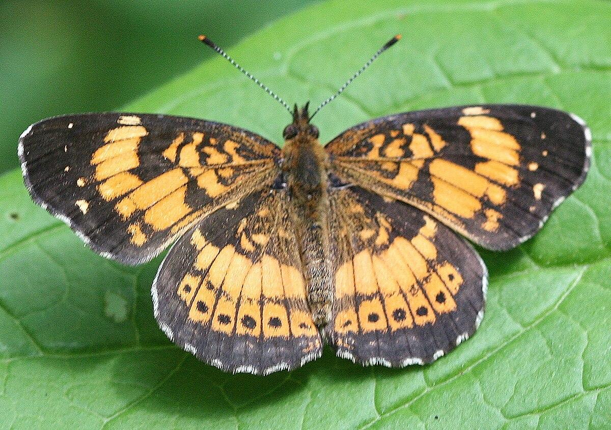 Nymphalidae Caterpillar Foods Uk