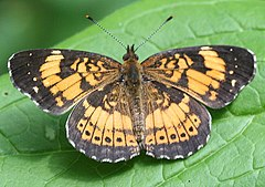 Silvery Checkerspot, Megan McCarty116.jpg