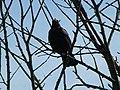 Singing Blackbird (Turdus merula) ♂ video (8978000046).jpg