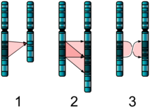 Three diagrams of chromosome pairs A, B that are nearly identical. 1: B is missing a segment of A. 2: B has two adjacent copies of a segment of A. 3: B's copy of A's segment is in reverse order.
