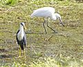 Size comparision, Pied Heron - Little egret - Flickr - Lip Kee.jpg