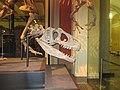 Skull of Allosaurus in Berlin.JPG