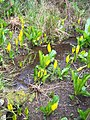 Skunk Cabbage (4224275600).jpg