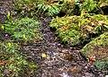 Skunk Cabbage Capilano Park Vancouver British Columbia Canada 01.jpg