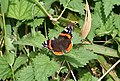 Slapton, Red Admiral on nettles - geograph.org.uk - 960266.jpg