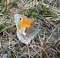 Small Heath. Coenonympha pamphilus, male - Flickr - gailhampshire.jpg