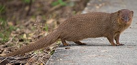Small asian mongoose.jpg