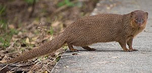 Small Asian mongoose - Image: Small asian mongoose