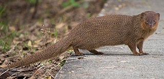 Javan mongoose Species of mammal