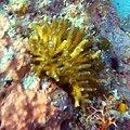 Small colony of Seriatopora hystrix.jpg