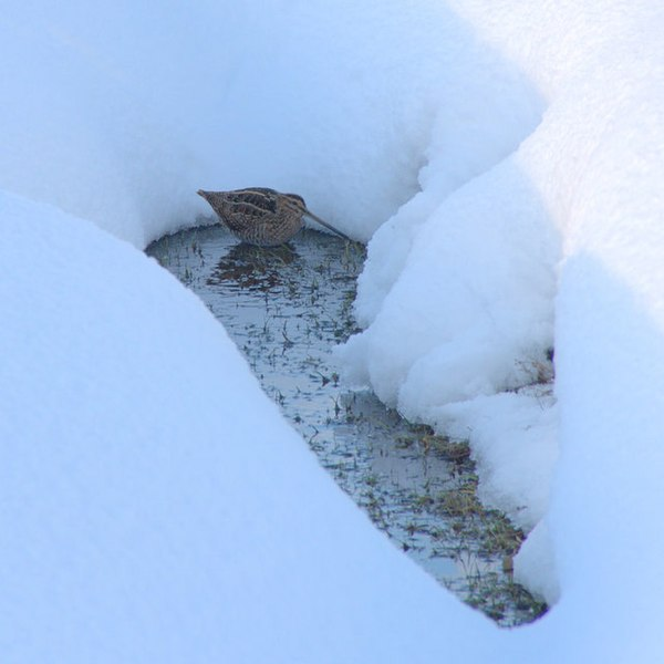 File:Snipe (Gallinago gallinago) in a ditch, Baltasound - geograph.org.uk - 1725712.jpg