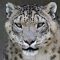 Snow Leopard 6 (48229981086).jpg