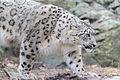 Snow Leopard Stalking (18184660491).jpg