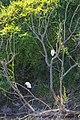 Snowy egret (46826367095).jpg