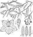 Solanum-amygdalifolium-Drawing-PhytoKeys-022-001-g014.jpg