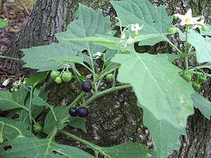 Solanum nigrum - Leaves, flowers and fruit of S. nigrum