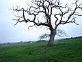 Solitary Tree near Wytham Great Woods - geograph.org.uk - 429221.jpg