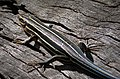 Southeastern Five-lined Skink (Eumeces -Plestiodon- inexpectatus (38408933256).jpg