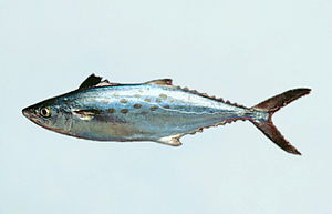 English: Spanish mackerel have yellow or olive...