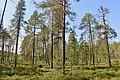 Sparse forest Björnlandet NP.jpg