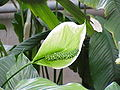 Spathiphyllum cochlearispathum0.jpg