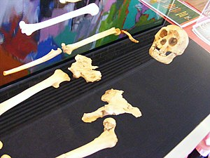 Homo floresiensis - Cast of the entire LB1 specimen.
