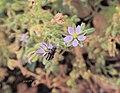 Spergularia rubra flower.JPG